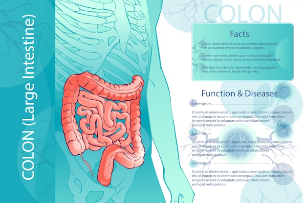 人間の結腸のベクトル図の図 Premiumベクター