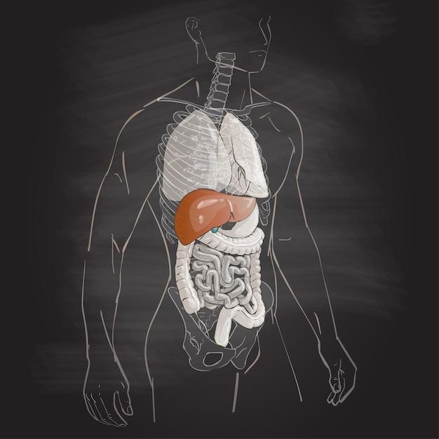 Анатомия печени человека Premium векторы