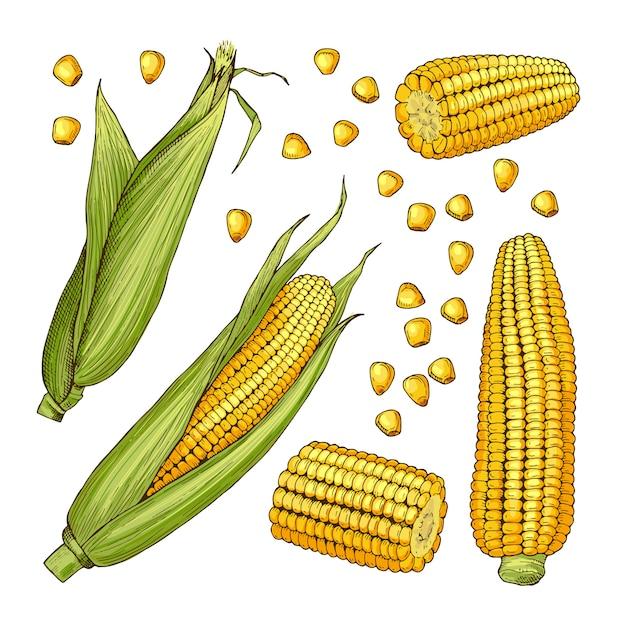 ベクトルファームイラスト。トウモロコシのさまざまな側面 Premiumベクター