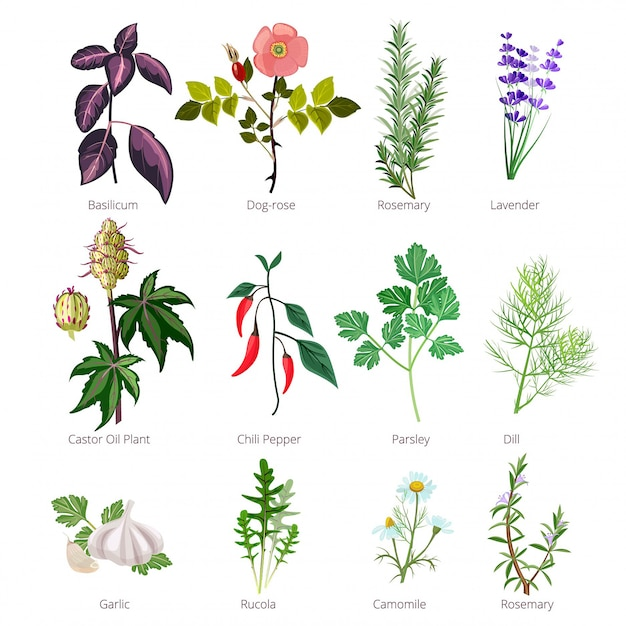 Еда трав и специй, здоровые натуральные продукты и различные травы и цветы валерианы роза фармацевтическая Premium векторы