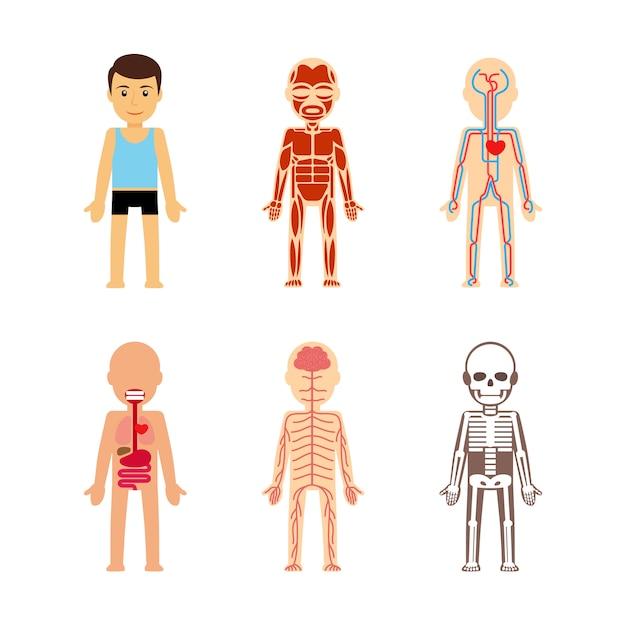 体の解剖学ベクトルイラスト Premiumベクター