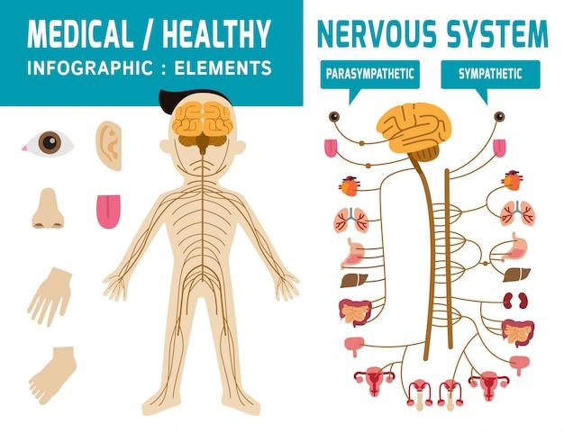 神経系。交感神経系、副交感神経系インフォグラフィック要素 Premiumベクター