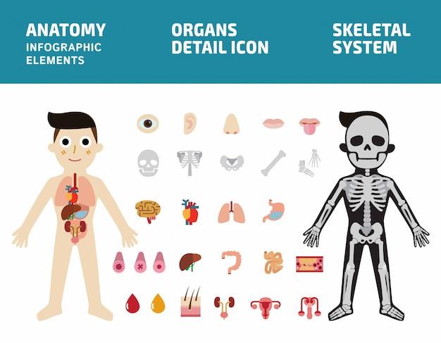 内臓のシステム。人体解剖学のインフォグラフィック。骨格系。内臓アイコン Premiumベクター