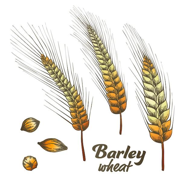 カラーデザインされた大麦小麦スパイクとシードセット。 Premiumベクター