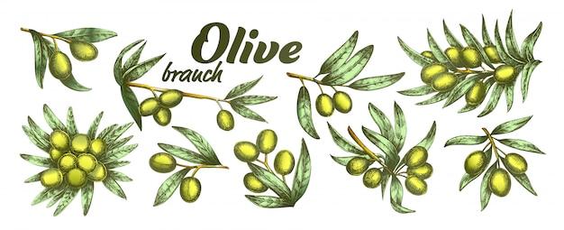 オリーブの枝 Premiumベクター