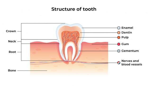 フラットバナー構造歯インフォグラフィック。 Premiumベクター