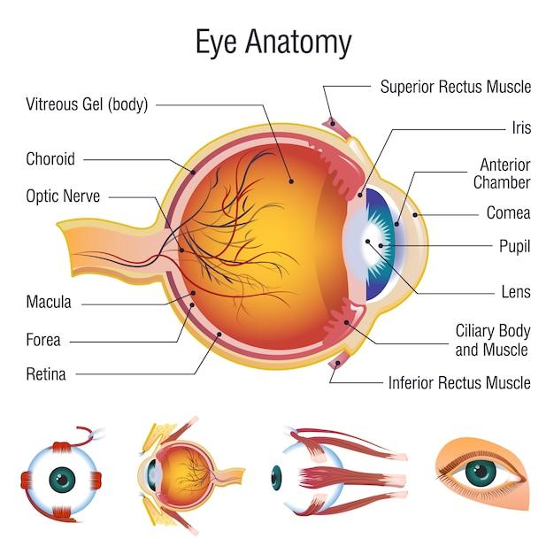 眼球インフォグラフィックの解剖学のアイコンを設定 Premiumベクター