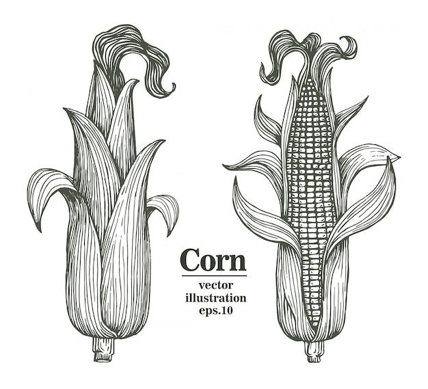 ベクトルの葉と穂軸にトウモロコシは手描き下ろしイラストです。 Premiumベクター