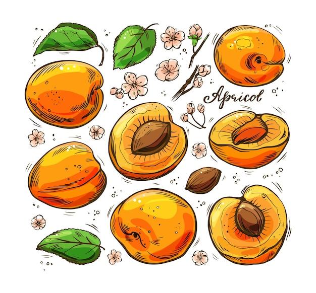 Набор красочных сочных абрикосов на белом фоне. рисованная иллюстрация. Premium векторы