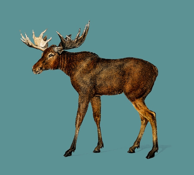 Alces alces illustrated by charles dessalines d orbigny (1806-1876). Free Vector