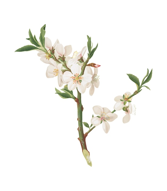 Almond tree flower from pomona italiana illustration Free Vector