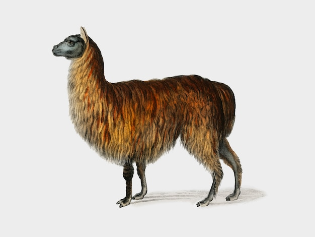 Alpaca (vicugna pacos) illustrated by charles dessalines d'orbigny (1806-1876). Free Vector