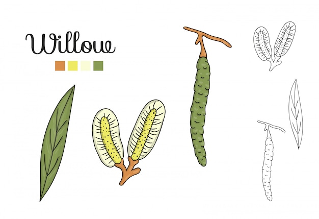 Векторный набор элементов дерева ивы изолированы. ботаническая иллюстрация листьев ивы, бранч, цветы, фрукты, ament. черно-белые картинки. Premium векторы