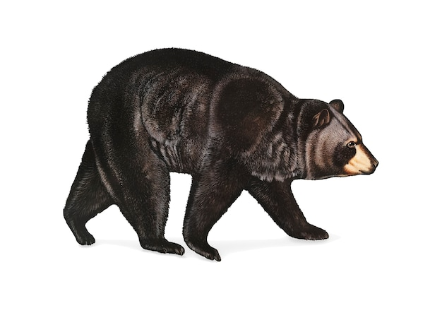 Free Vector | American black bear illustration