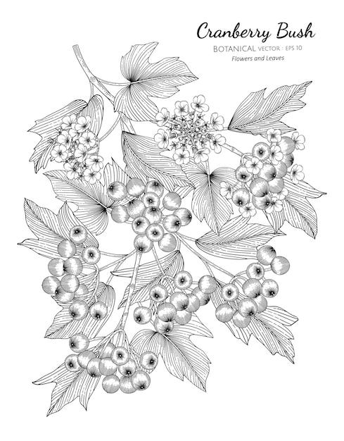American cranberrybush fruit hand drawn botanical illustration with line art on white backgrounds. Premium Vector