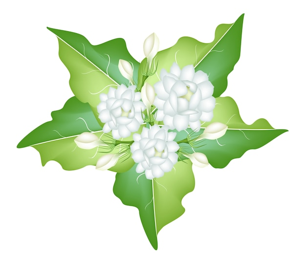 白い背景にジャスミンの花のイラスト Premiumベクター