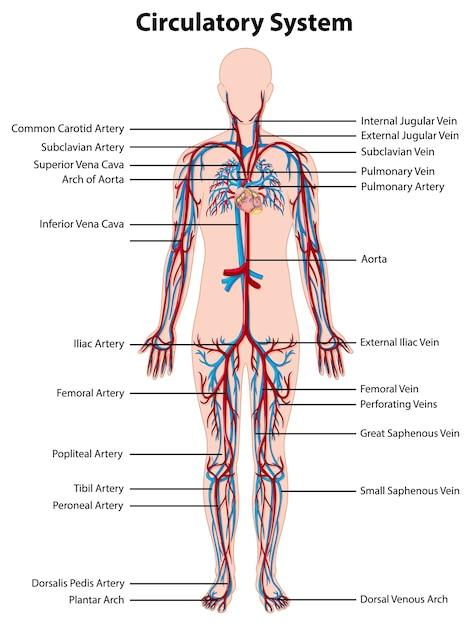 Anatomia del sistema circolatorio Vettore gratuito