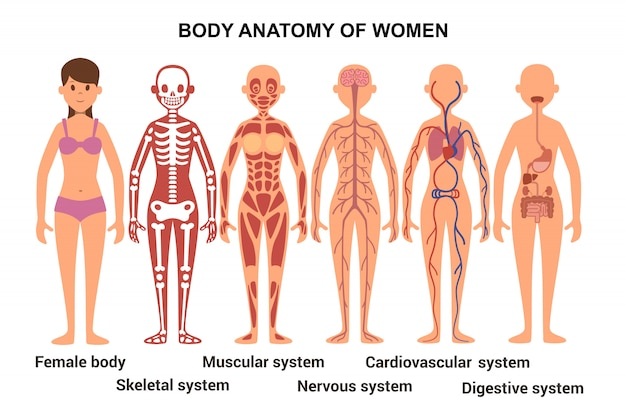 Anatomy of the female body. anatomical poster. skeletal and muscular system, nervous and circulatory system, human digestive system Premium Vector