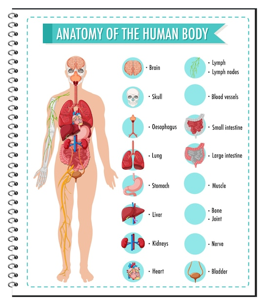Anatomia del corpo umano informazioni infografica Vettore gratuito