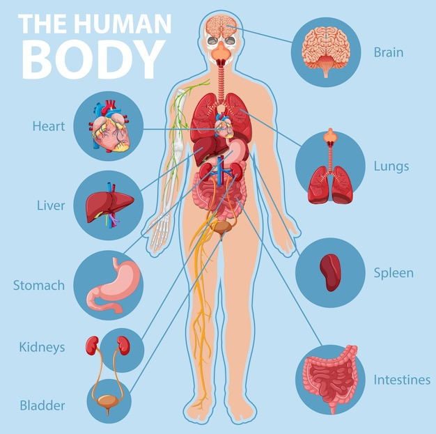 Anatomy of the human body information infographic Free Vector