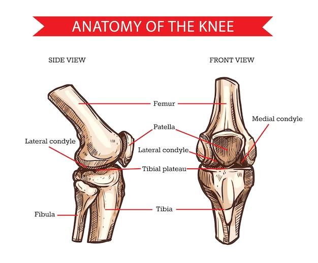 Anatomy of the knee complex