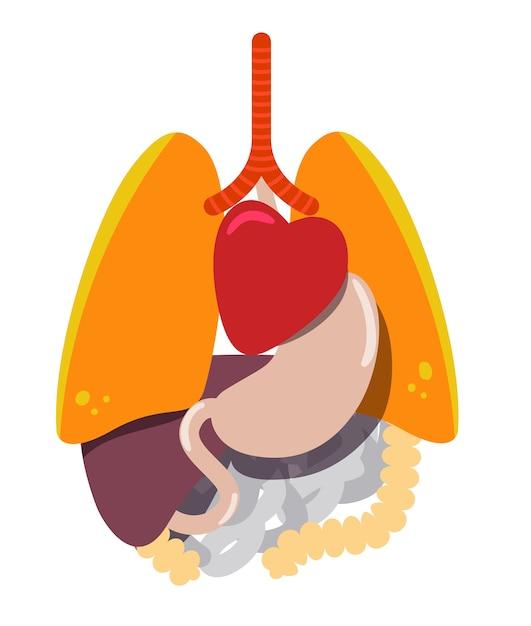 Anatomy of the human body, internal organs Vector | Premium Download