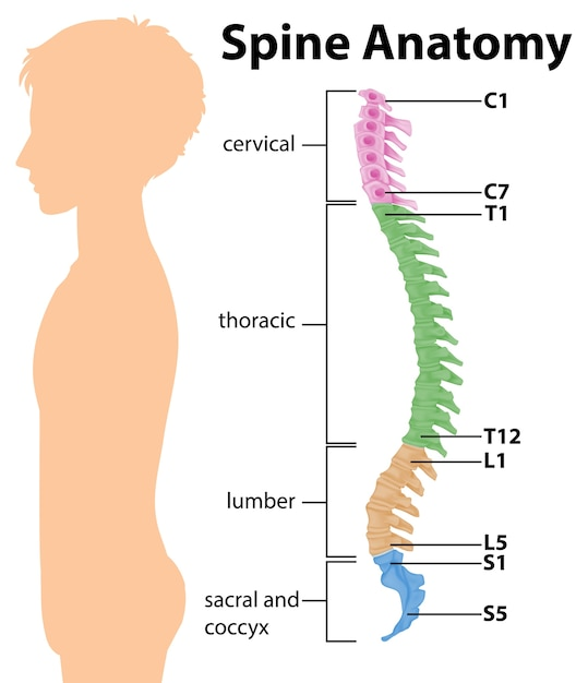 Anatomy of the spine or spinal curves infographic Free Vector