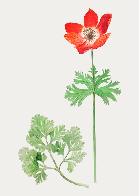 Anemone in vintage style Free Vector