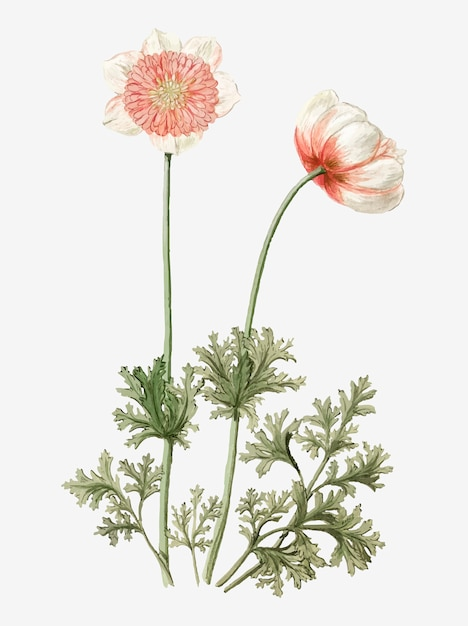 Anemones vintage illustration Free Vector