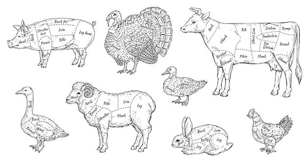 동물 고기 절단 부품 세트-음식 메뉴에 대한 농장 동물 시체의 다른 부분에 대한 정육점 가이드. 프리미엄 벡터