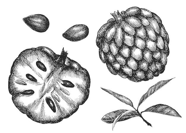 Аннона. рука рисунок овощи. эскиз. Premium векторы