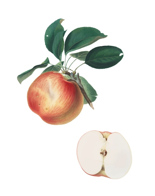 Apple from pomona italiana illustration Free Vector