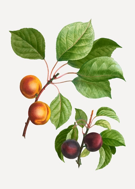 Apricots and plums Free Vector
