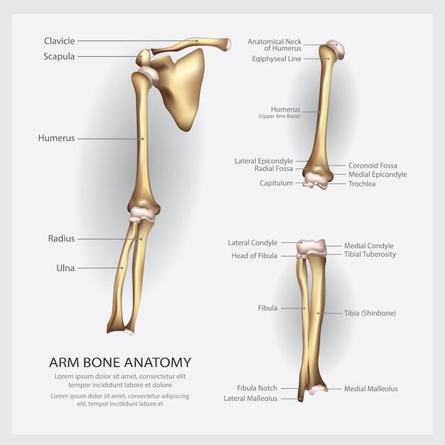 Arm bone anatomy with detail illustration Premium Vector