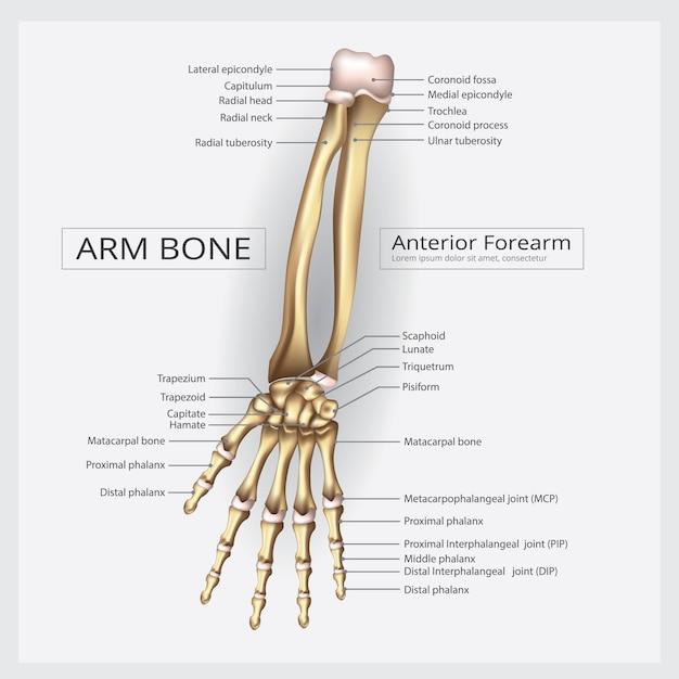 Arm and hand bone vector illustration Premium Vector