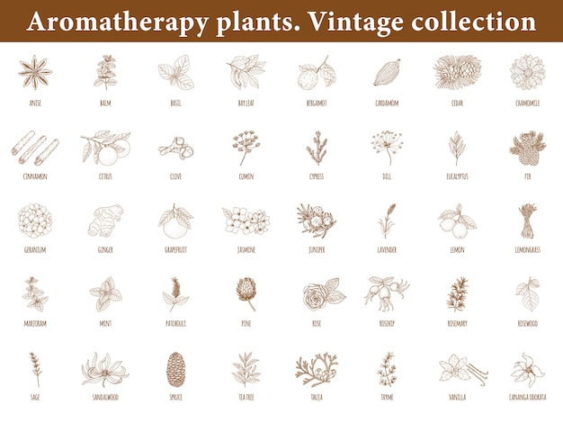 Aromatherapy plants. set of botanical elements isolated . vintage style. Premium Vector