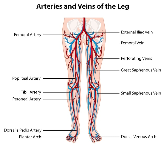 Arteries and veins of the leg Free Vector