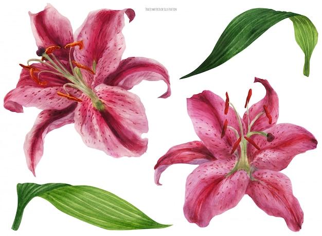 アジアのリリースターゲイザー、孤立した花と葉 Premiumベクター