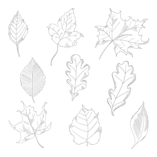 Autumn leaves set in a sketch style. maple and oak trees. vector illustration isolated on white background. Premium Vector