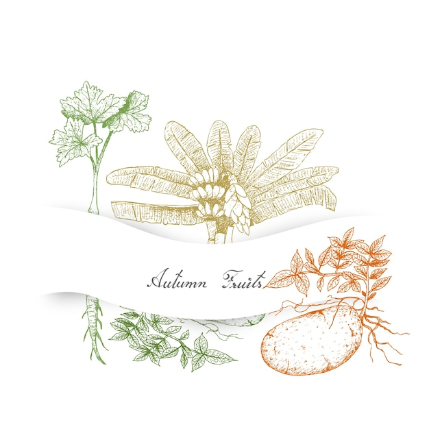 Autumn vegetables of ensete banana Premium Vector