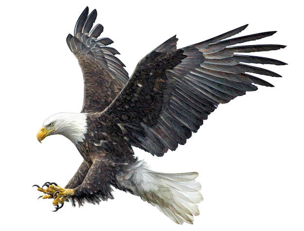 Bald eagle flying attack hand draw on white background. Premium Vector
