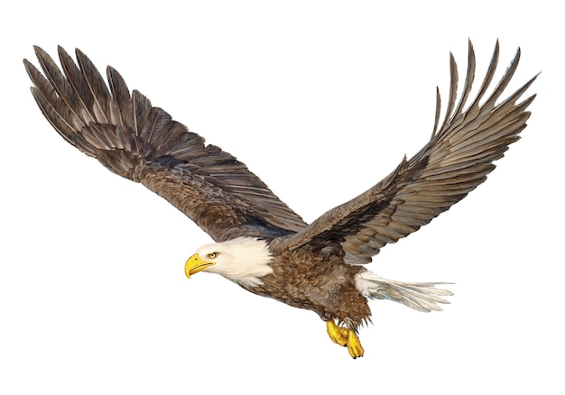 Bald eagle flying hand draw and paint color on white. Premium Vector
