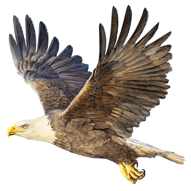 Bald eagle flying hand draw and paint on white Premium Vector