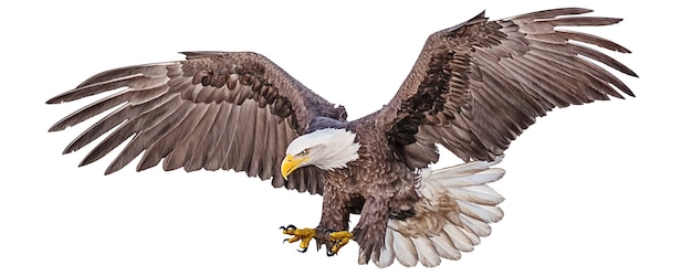 Bald eagle flying swoop hand draw and paint color on white Premium Vector