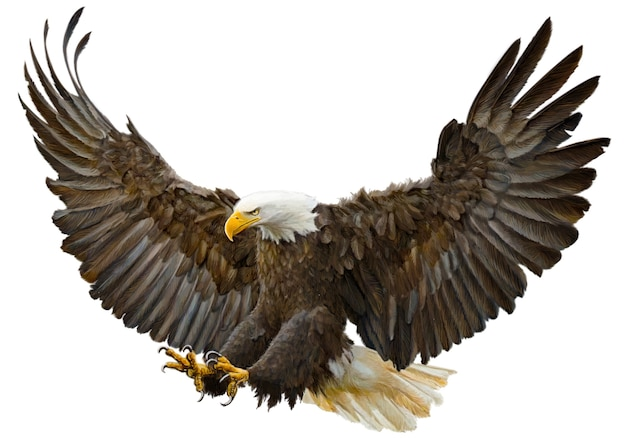 Bald eagle flying swoop hand draw and paint color. Premium Vector