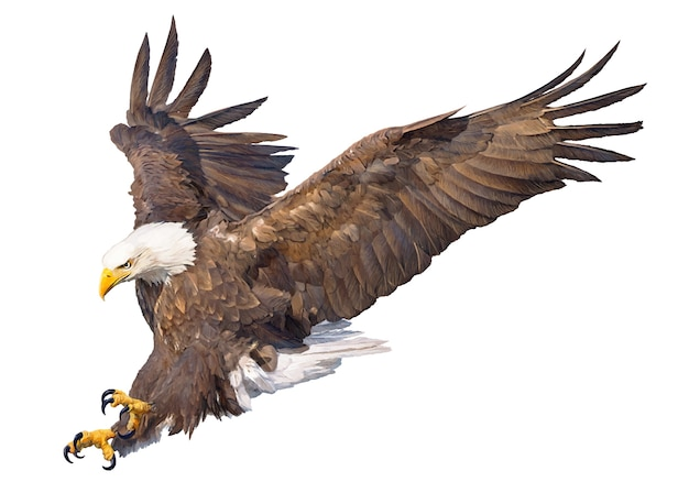 Bald eagle swoop attack hand draw on white background. Premium Vector