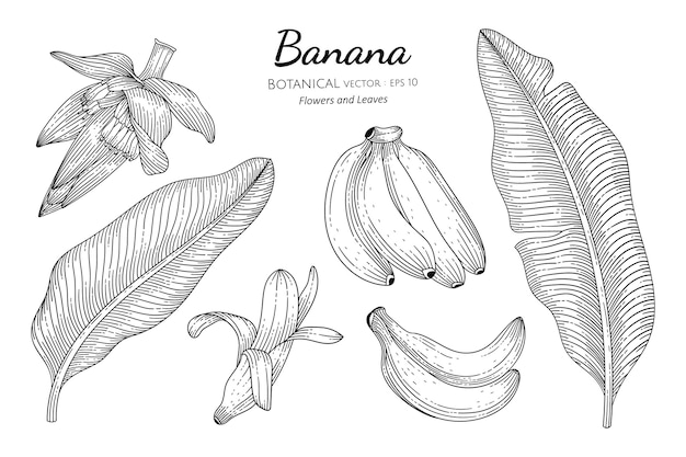 Banana fruit and leaf hand drawn botanical illustration with line art on white backgrounds. Premium Vector