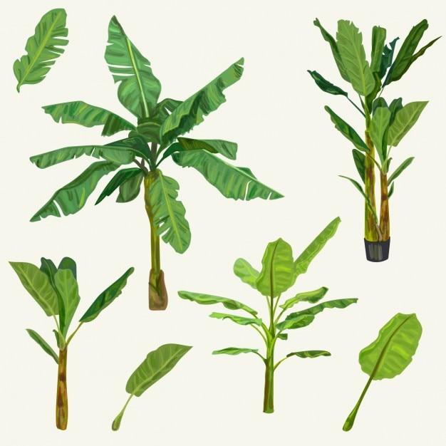 Leaf Banana Vectors, Photos and PSD files | Free Download