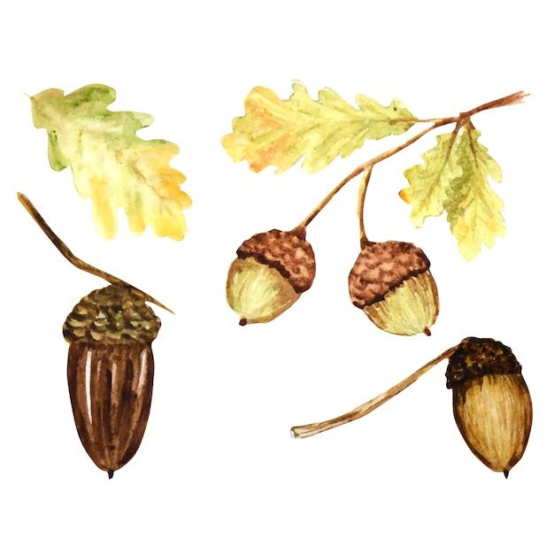 Набор красивых ярких цветов осенних дубовых листьев, веток и желудей. рисованной иллюстрации Premium векторы