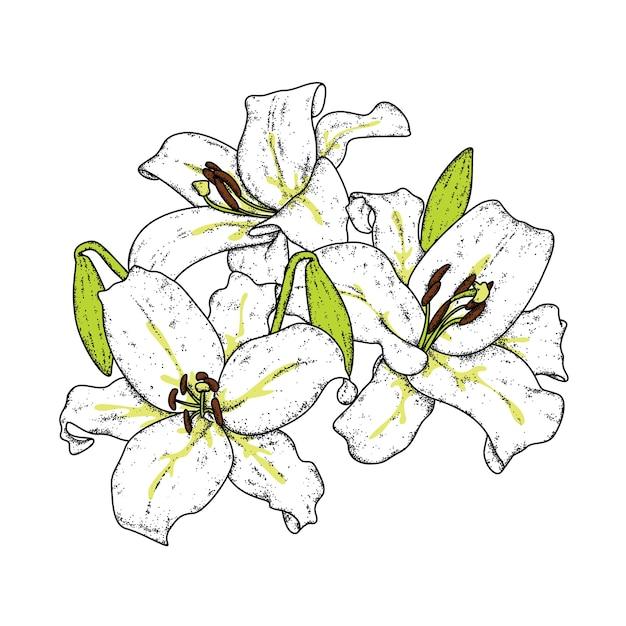 美しいユリ。繊細な花 Premiumベクター